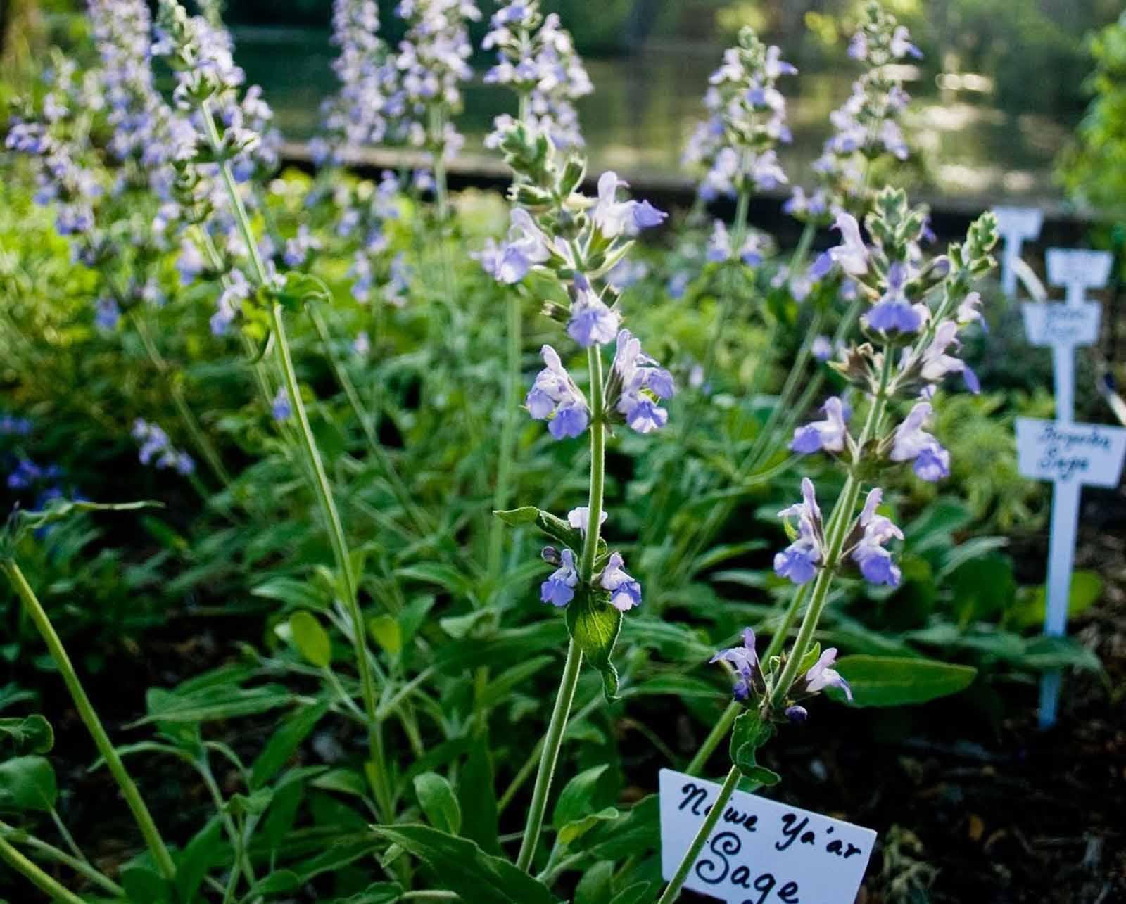 Herb Garden - Sage