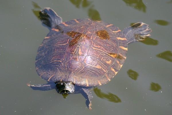 Tallulah Turtle '06